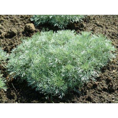 Artemisia sch. 'Nana'