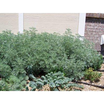 Artemisia 'Powis Castle' wit
