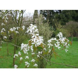 Amelanchier Robin Hill