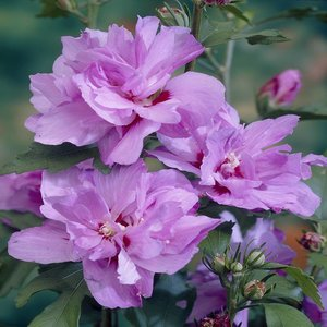 Hibiscus syriacus 'Ardens'