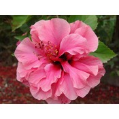 Hibiscus syriacus ' Boule de Feu '