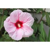 Hibiscus Syr Pink Giant