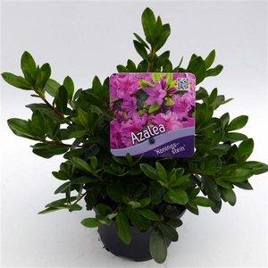 Rhododendron Koningstein