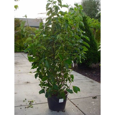 Magnolia 'Heaven Scent' (Beverboom)