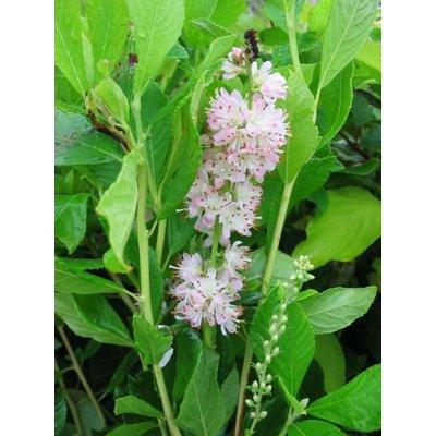 Clethra alnifolia 'Pink Spire'