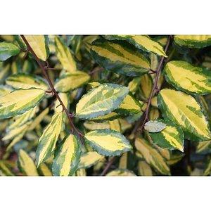 Ealeagnus pun.`Maculata` (Aurea)