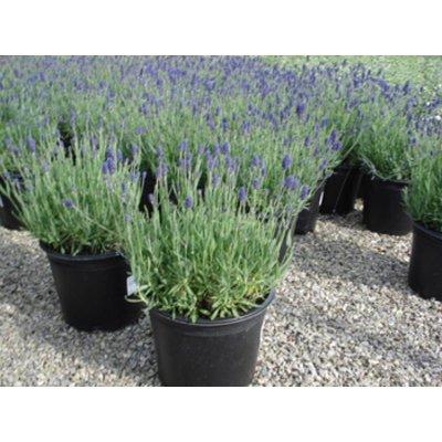 Lavendel Hidcote Tray 6 stuks