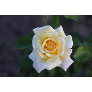 Roos Grootbloemig