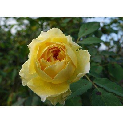 Rosa Grootbloemig
