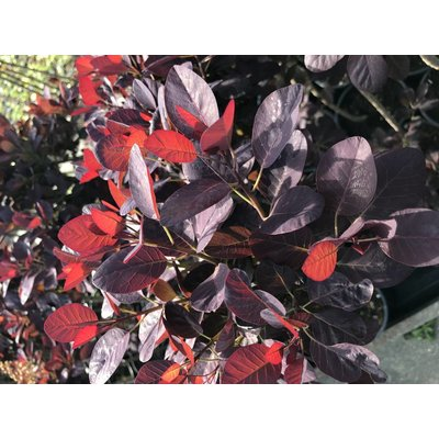 Cotinus coggygria 'Royal Purple' OUTLET