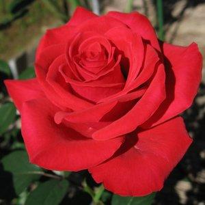 Rosa Selection