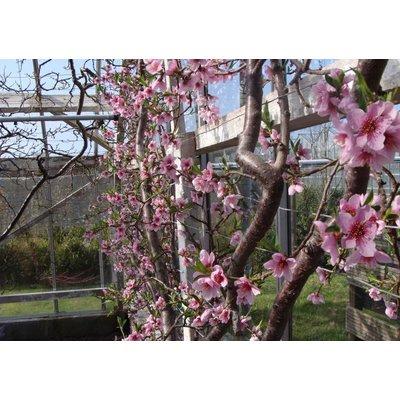 Prunus persica OUTLET