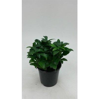 Pachysandra 'Green Carpet'