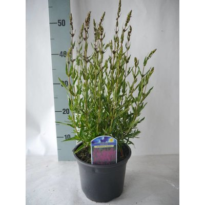 Lythrum vir. 'Dropmore Purple'