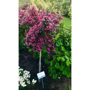 Weigela florida Minor Black 80cm stam