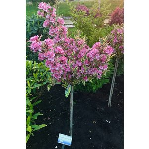 Weigela Magical Rainbow 60cm stam