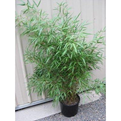 Bamboe Fargesia Jumbo