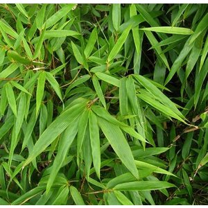 Bamboe Fargesia Simba