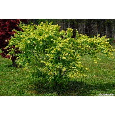 Acer Palmatum Aoyagi