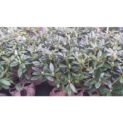 Rhodondendron catawbiense 'Grandiflorum'