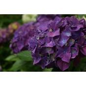 Hydrangea Macrophylla `Purple`