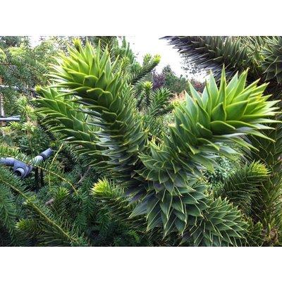 Apenboom / Araucaria