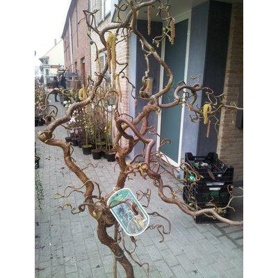 Corylus op stam