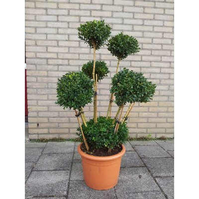 Buxus Bollen op stam