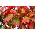 Acer Japonicum Meigetsu
