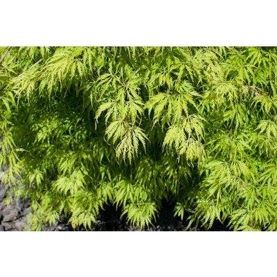Acer Palmatum Filigree