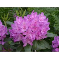 Rhododendron catawbiense 'Boursault'
