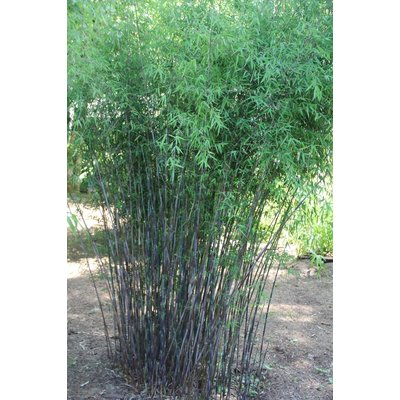 Bamboe Fargesia Jiuzhaigou