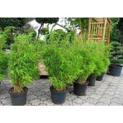 Bamboe Fargesia Bimbo
