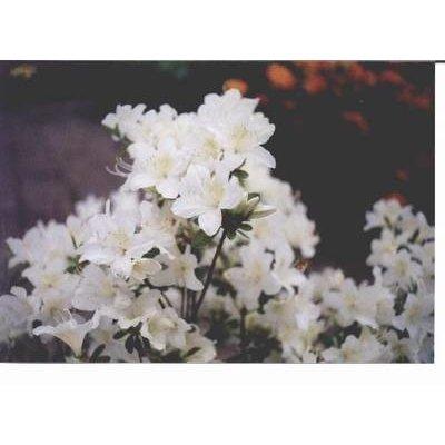 Azalea Japonica Sneeuwwitje