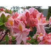 Azalea Berry Rose