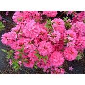 Rhododendron AJ Geisha Pink