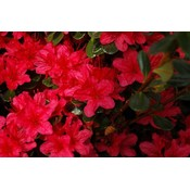 Rhododendron AJ Geisha Red