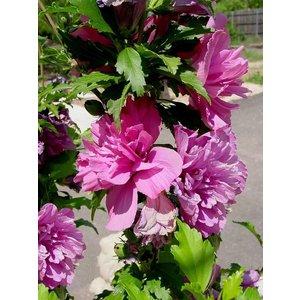 Hibiscus Syriacus Pink Chiffon®