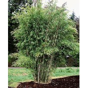 Bamboe Fargesia Hutu