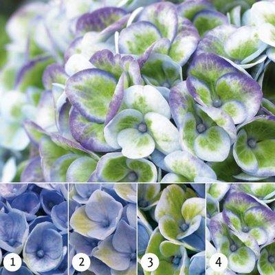 Hydrangea Macrophylla Magical® Revolution Blue