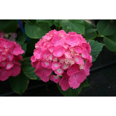Hydrangea Macrophylla Magical Sapphire