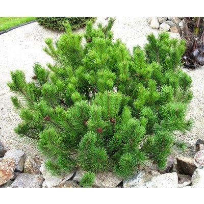 Pinus mugo var. mughus