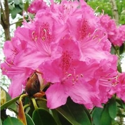 Rhododendron 'Cynthia'