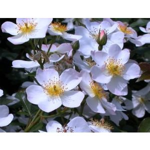 Rosa 'White Fleurette'