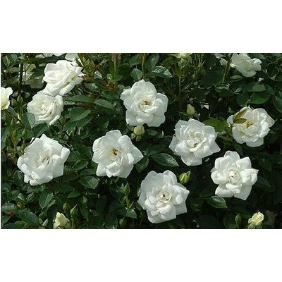 Rosa 'Kent'