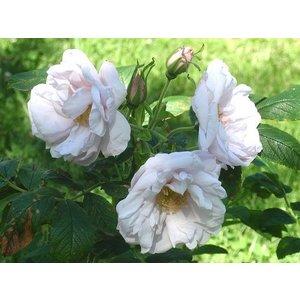 Rosa 'Schneekoppe'