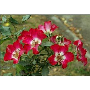 Rosa Cherry Meidiland®