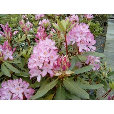 Rhododendron ponticum 'Roseum'