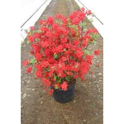 Rhododendron Stewartstonian