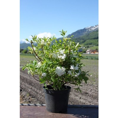 Azalea Rhododendron White Melody